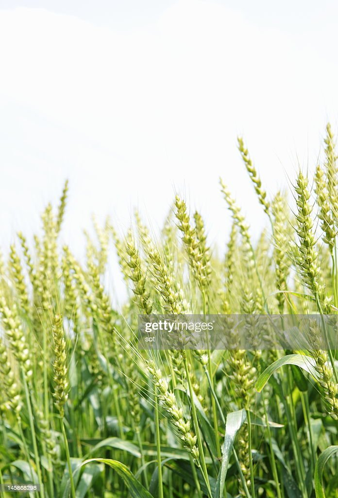 Close-up of wheat in field : Stock Photo