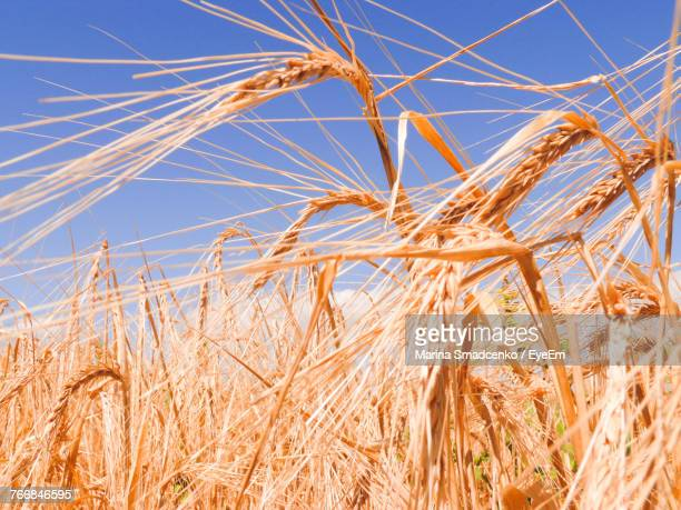 Close-Up Of Wheat Plants Against Clear Blue Sky