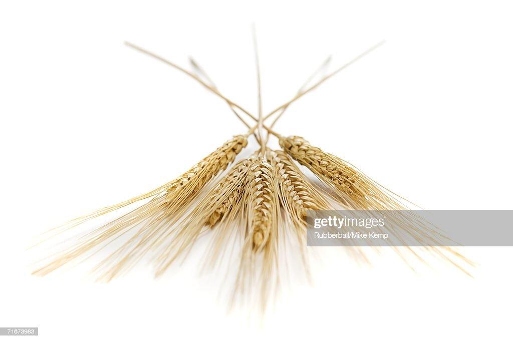 Close-up of wheat stalks