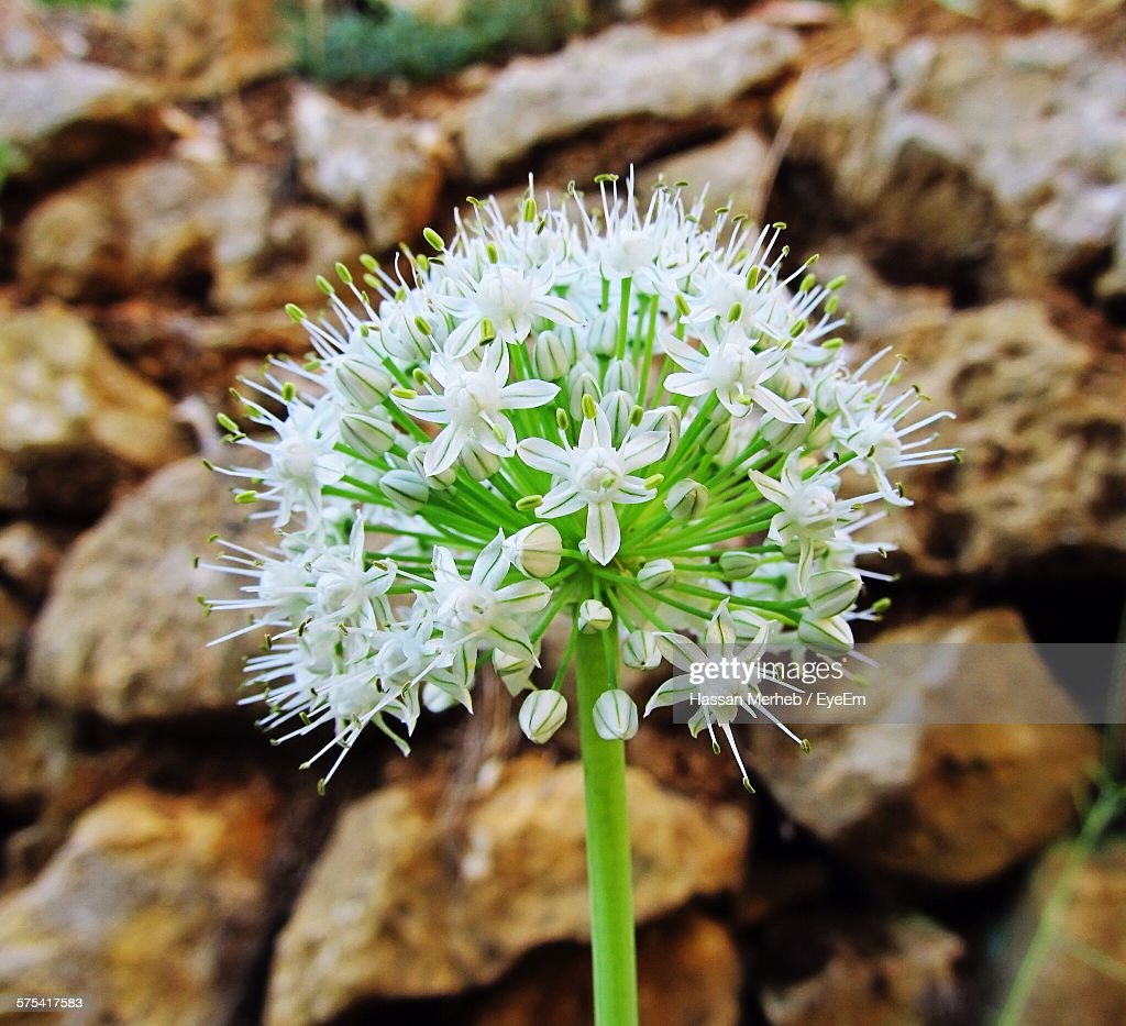 Closeup Of White Allium Flowers Stock Photo Getty Images