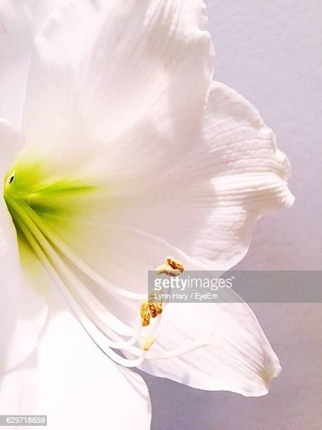 Close-Up Of White Amaryllis Against Wall