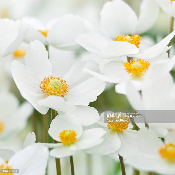 Close-up of white and yellow Snowdrop Anemone Sylvestris