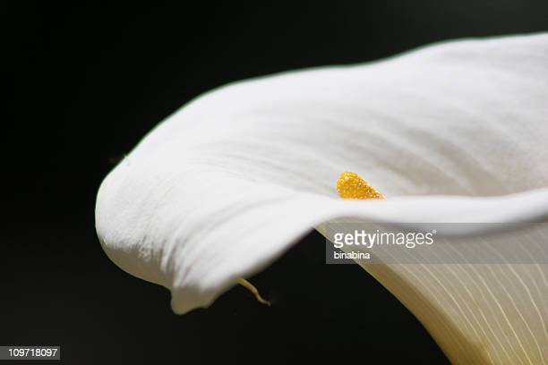 Close-up of White Calla Lilly on Black Background