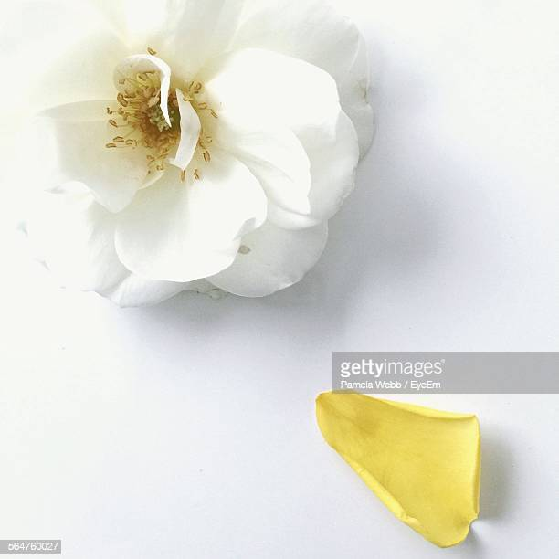 Close-Up Of White Camellia Flower