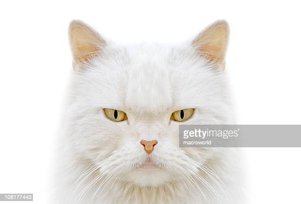 Closeup of white cat face with stern expression