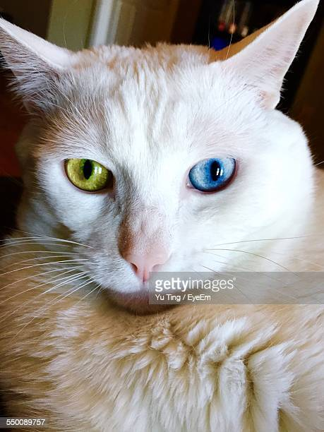 Close-Up Of White Cat With Green And Blue Eyes At Home