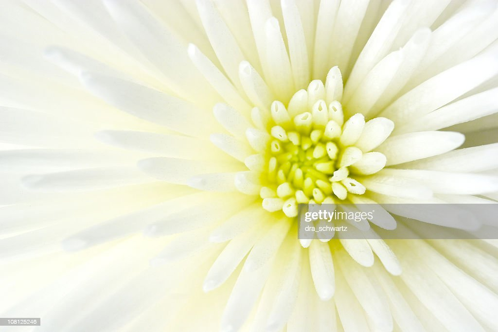 Close-up of White Chrysanthemum Flower : Stock Photo