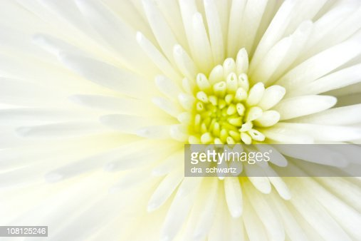 Close-up of White Chrysanthemum Flower : Stockfoto