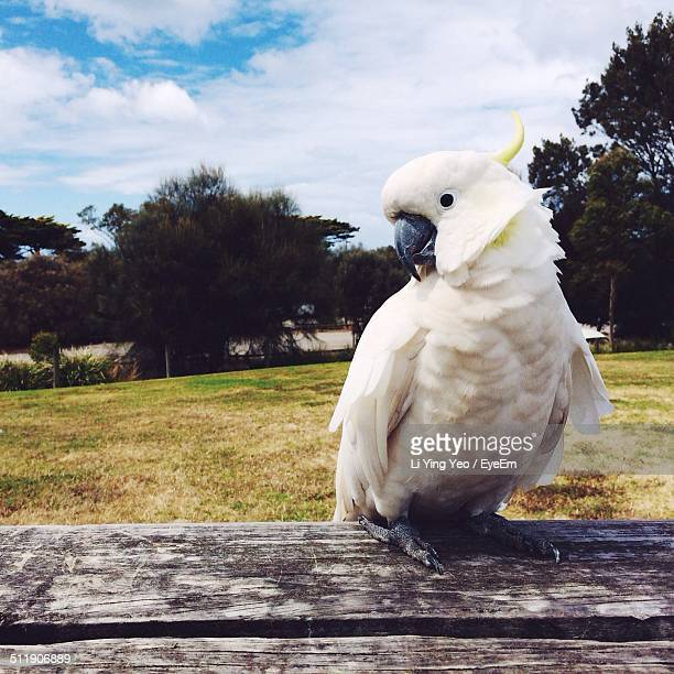Close-up of white cockatoo perching on wooden table
