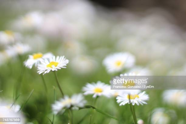 Close-Up Of White Cosmos Flowers Blooming Outdoors