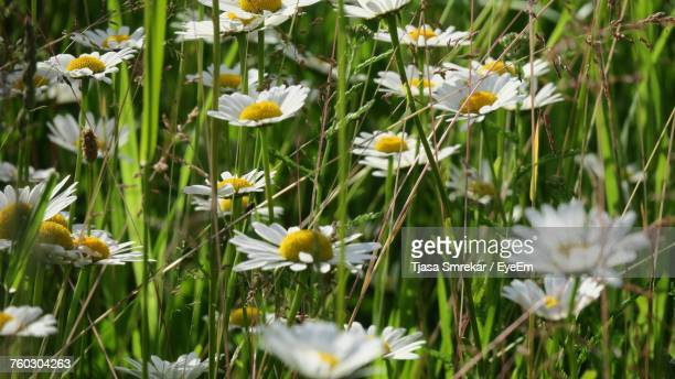 Close-Up Of White Crocus Flowers Blooming In Field