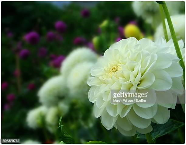 Close-Up Of White Dahlia Blooming Outdoors