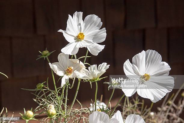 Close-Up Of White Daisy Flowers Blooming Outdoors