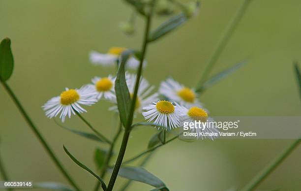 Close-Up Of White Daisy Growing Outdoors