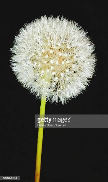 Close-Up Of White Dandelion Flower At Night