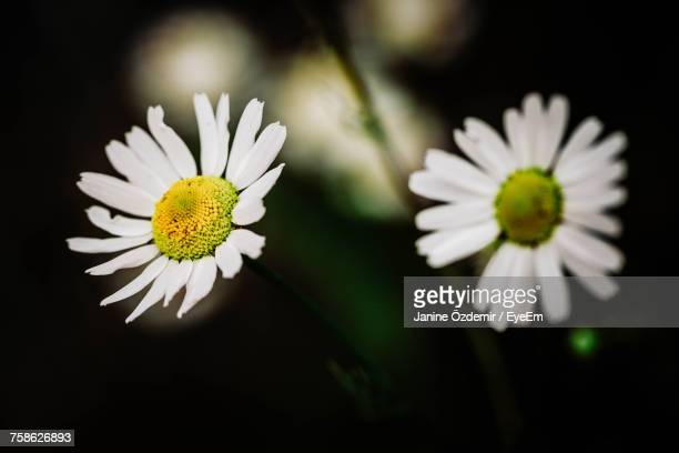 Close-Up Of White Flowers Blooming Against Black Background