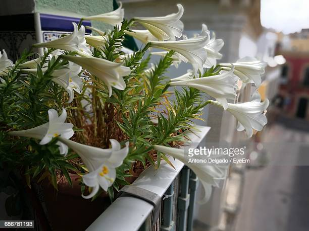 Close-Up Of White Flowers Blooming At Balcony