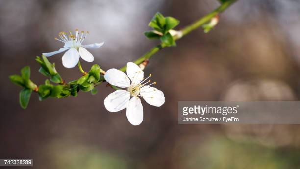 Close-Up Of White Flowers Blooming On Branch
