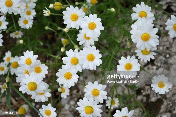 Close-Up Of White Flowers Blooming On Field