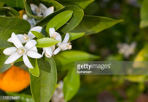 A close-up of white flowers on an orange tree