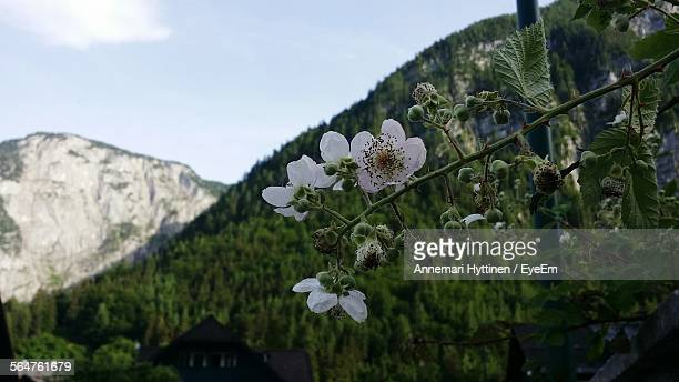 Close-Up Of White Flowers On Branch With Mountain In Background