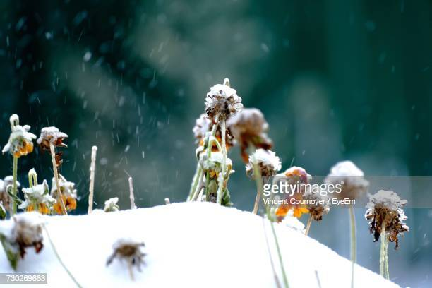 Close-Up Of White Flowers On Snow