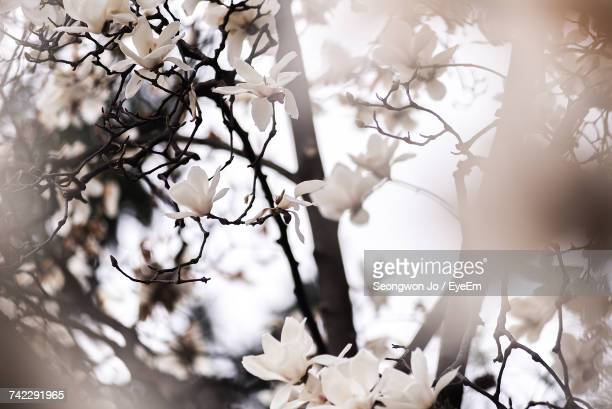 Close-Up Of White Flowers On Tree Against Sky