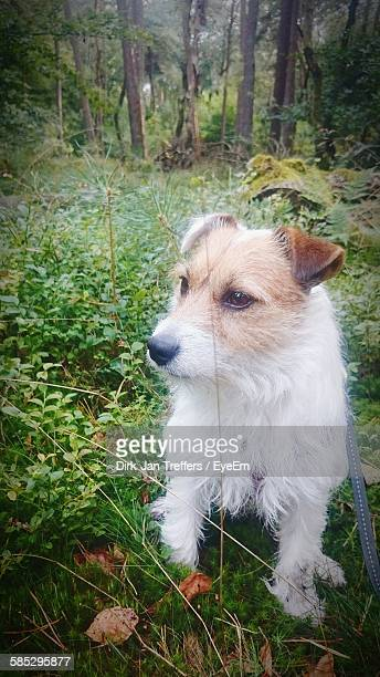 Close-Up Of White Fox Terrier In Forest