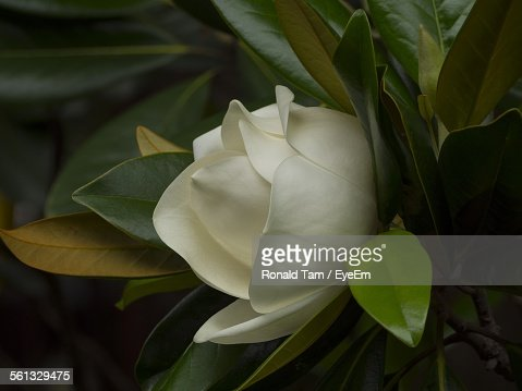 a bright white gardenia flower bloom stock photo  getty images, Beautiful flower