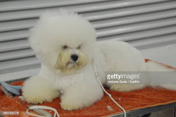 Close-Up Of White Hairy Dog Lying On Napkin At Dog Show