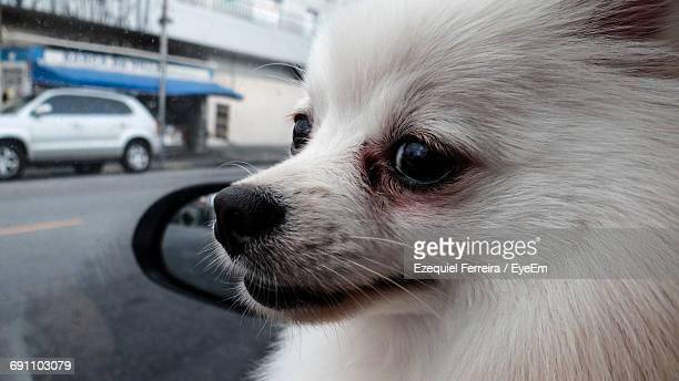 Close-Up Of White Hairy Pomeranian Dog Looking Through Car Window