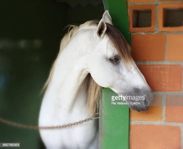 Close-Up Of White Horse In Stable