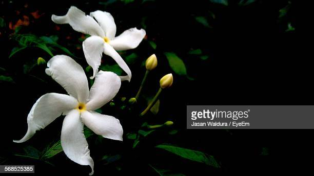 Close-Up Of White Jasmine Flowers At Night