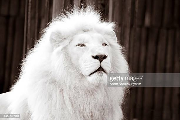 Close-Up Of White Lion Against Fence