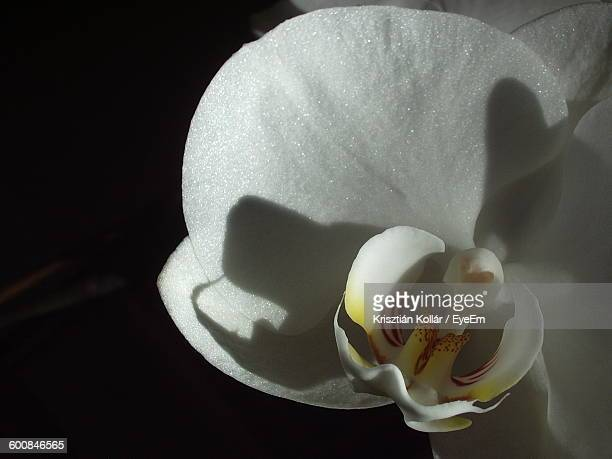 Close-Up Of White Orchid At Night