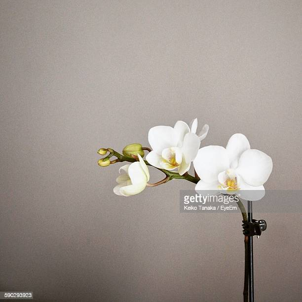 Close-Up Of White Orchids Over Gray Background