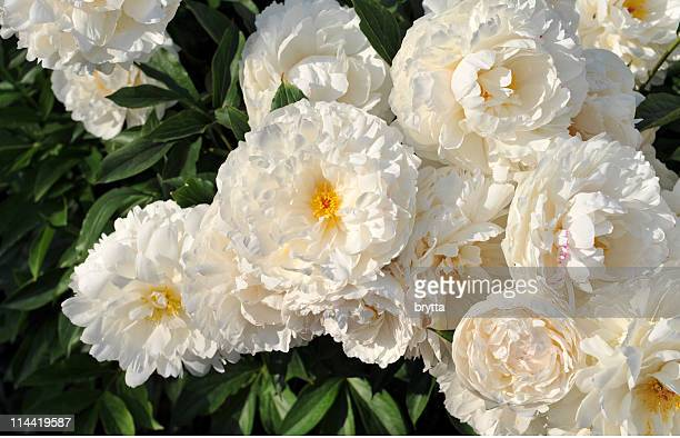 Close-up of  white peonies in full bloom