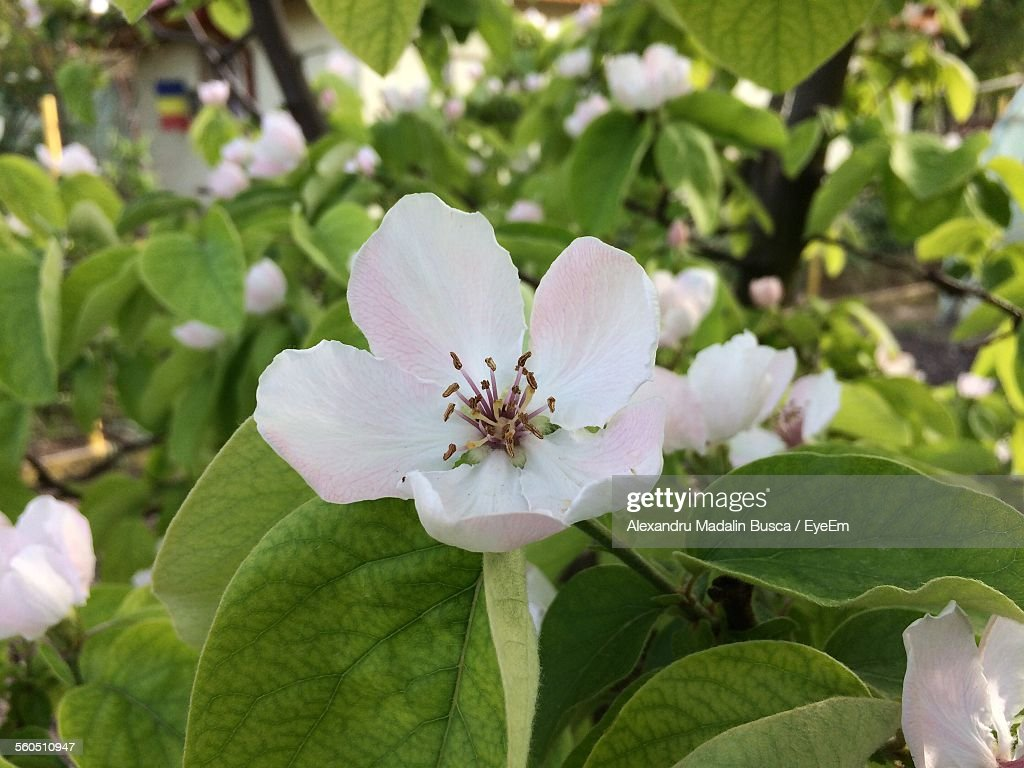 Close-Up Of White Quince Blossoms