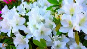 Close-Up Of White Rhododendron Flowers