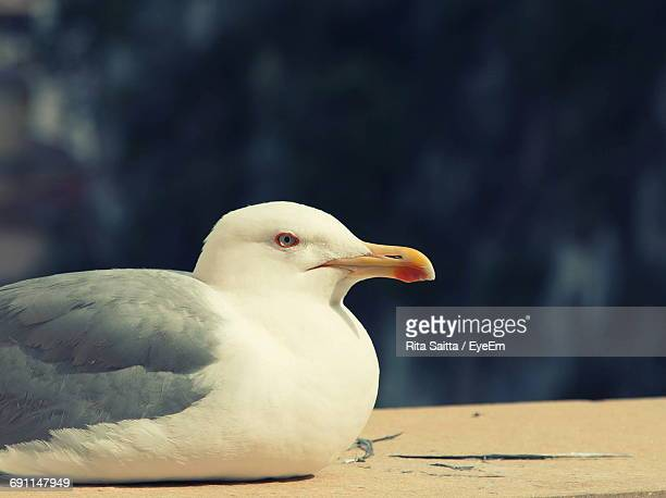 Close-Up Of White Seagull
