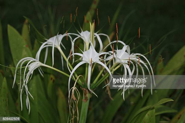 Close-Up Of White Spider Lily Flowers Growing On Field