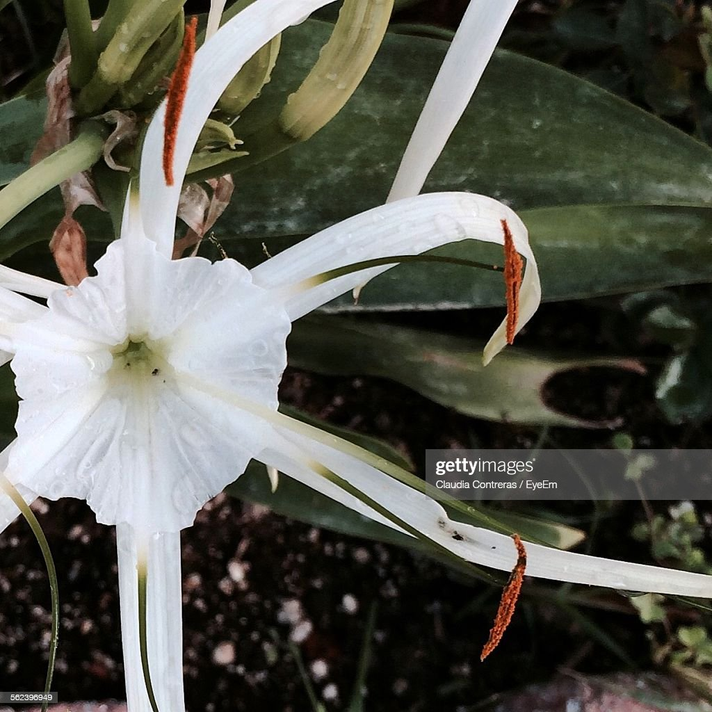 Closeup Of White Spider Lily Flowers Stock Photo Getty Images