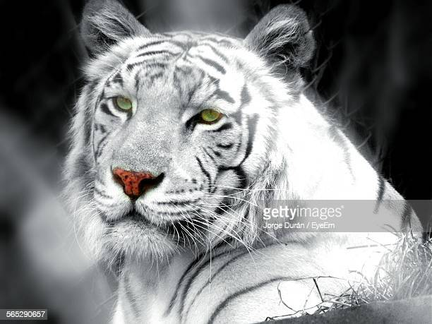 Close-Up Of White Tiger In Zoo