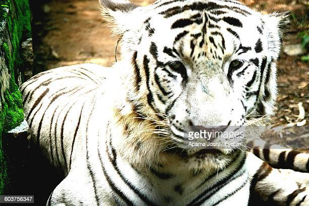 Close-Up Of White Tiger Sitting On Field