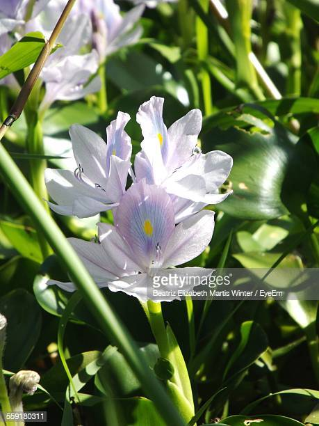 Close-Up Of White Water Hyacinth Flowers