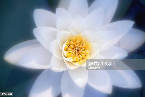 Close-up of white water lily