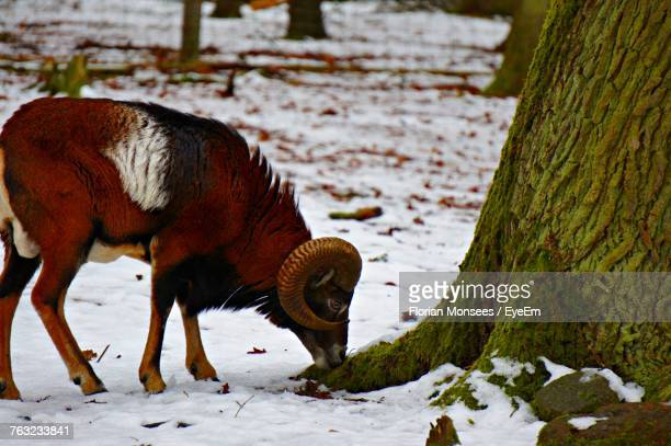 Close-Up Of Wild Goat Standing On Snowy Field During Winter