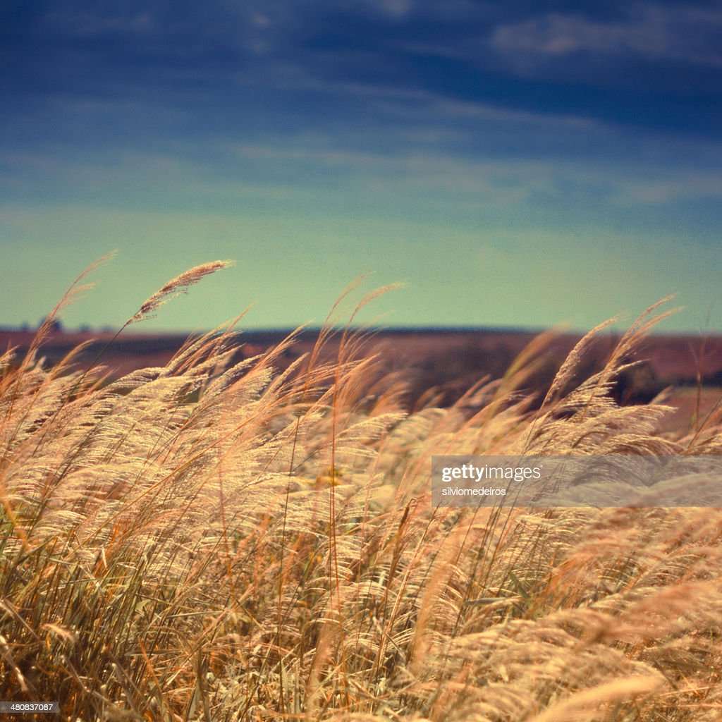 Reed grass field