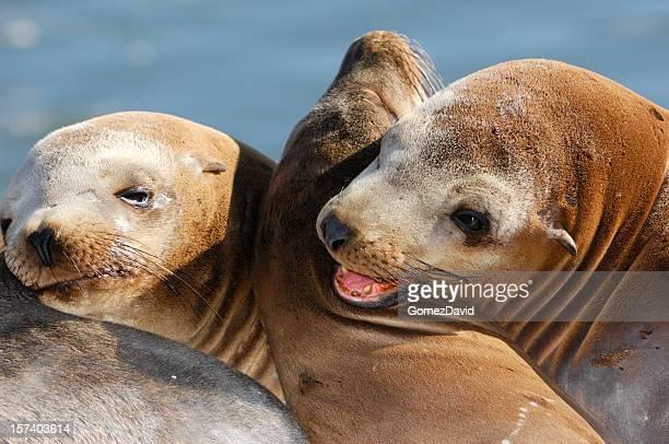 Close-up of Wild Sea Lions