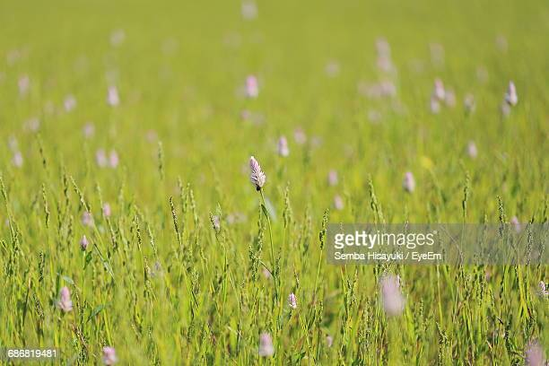 Close-Up Of Wildflowers Growing On Grassy Field